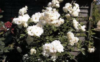 Полив и посадка роз
