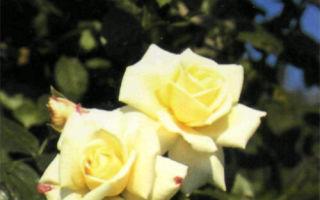 White Cocade