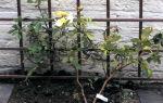 Посадка вьющихся роз у стен