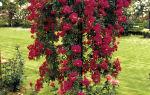 Обрезка каскадных штамбовых роз