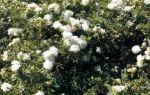 Snow Carpet