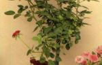 Миниатюрные штамбовые и вьющиеся розы