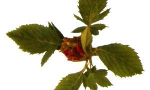Зеленая розанная тля