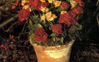 Простой горшок с розами