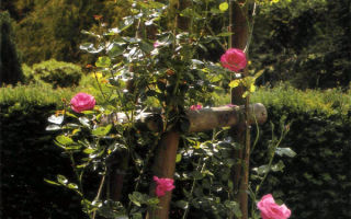 Обрезка сортов-клаймингов с повторным цветением
