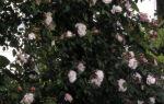 Розы растущие на вертикальных опорах