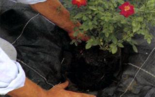 Высадка почвопокровных роз