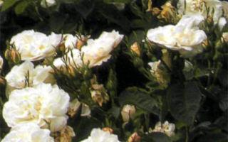 Rosa Alba Maxima