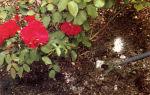 Подкормки для роз