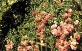 Живые изгороди из роз