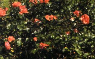 Обрезка большого количества роз