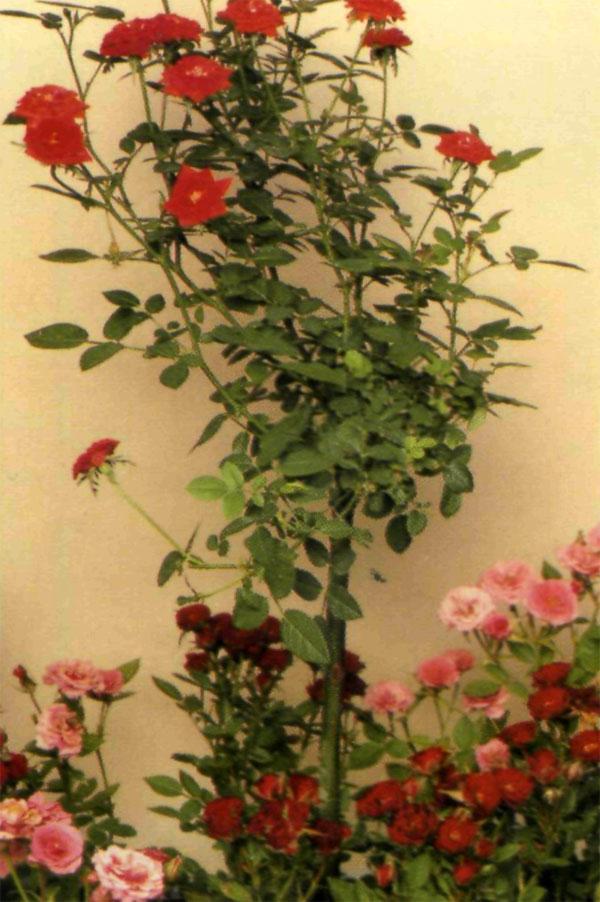 Миниатюрные штамбовые и розы
